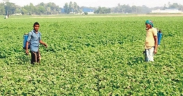আলু চাষে লক্ষ্যমাত্রা অর্জন হয়নি কুমিল্লায় আগ্রহ হারিয়েছে কৃষক