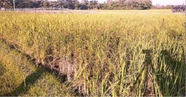 কুমিল্লার কৃষি জমিতে ভাইরাস রোগ!