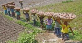 কুমিল্লায় আলুর বাম্পার ফলনে কৃষকের মুখে হাসি