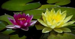বিশ্বের প্রথম হলুদ পদ্মের দেখা কুমিল্লার বুড়িচংয়ে