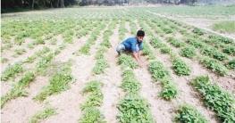 ভাগ্যবদলের স্বপ্ন দেখছেন ব্রাহ্মণপাড়ার কৃষকরা