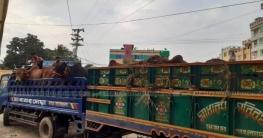 ৯৯৯ এ ফোন, কুমিল্লায় ছিনতাই হওয়া ট্রাকভর্তি গরু উদ্ধার