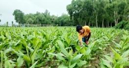 কুমিল্লায় হলুদ চাষে স্বাবলম্বী হচ্ছে কৃষক