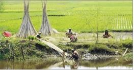ব্রাহ্মণপাড়ায় সোনালী আঁশ সংগ্রহে ব্যস্ত কৃষক