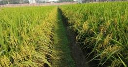 কুমিল্লায় আমনের উৎপাদন লক্ষ্যমাত্রা ছাড়ানোর প্রত্যাশা