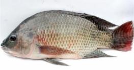 প্রাণঘাতী রোগের কারণ হতে পারে তেলাপিয়া মাছ!