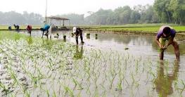 ব্রাহ্মণপাড়ায় ইরি-বোর চাষাবাদে ব্যস্ত সময় পার করছে কৃষক