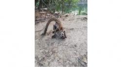 রাজেশপুর ইকোপার্কে বিপন্ন প্রজাতির গন্ধগোকুল