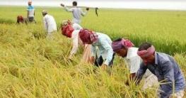 রংপুর থেকে ধান কাটতে ১ হাজার শ্রমিক কুমিল্লায় আসছে